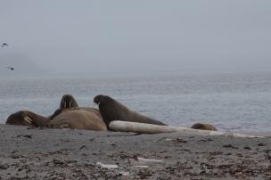 Hvalross må hvile. Foto: Siri Wolland